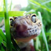 picture of godzilla  - a healthy adult tangerine leopard gecko in captivity - JPG