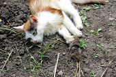 image of dead mouse  - The kitten playing with a dead mouse - JPG