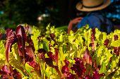 Fresh Market Lettuce