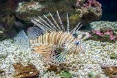 Common  Lionfish Or Devil Firefish (pterois Miles)