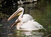 Pair Of Great White Pelican (pelecanus Onocrotalus)