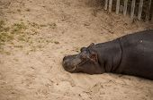 image of hippopotamus  - The hippopotamus (Hippopotamus amphibius) or hippo in Lisbon Zoo (Portugal)