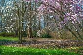 stock photo of dogwood  - Spring dogwood magnolia and cyprus trees at the David C - JPG