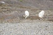 stock photo of denali national park  - Dall Sheep Grazing in Tundra of Denali National Park Alaska - JPG