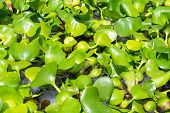 Water Lettuce or Water Hyacinth
