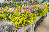 image of planters  - Yellow and Pink Flowers in Hanging Planters in a Plant Nursery