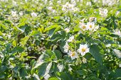 White And Yellow Flowering Potato Plants