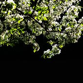 Cherry Blossoms Background. White Spring Flowers Over Black Background