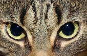 Egyptian Mau - cat's eyes