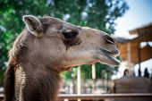Close up of an african camel chewing grass - a side angle