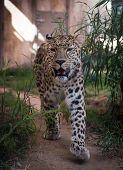 A big cheetah walking forward. Close up front shot.