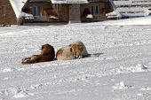 Two Dogs Rest On Snow