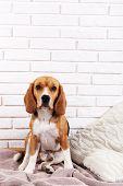 Beagle dog on wall background