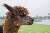 Alpaca at the lake