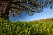 Oak tree on the green spring meadow