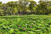 Lotus Garden Summer Palace Beijing China