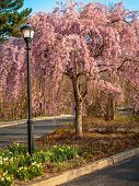stock photo of dogwood  - An ornamental pink dogwood tree in a park in Monmouth County New Jersey - JPG