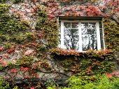 foto of ivy  - Ivy on the wall of the house with a window - JPG