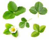 Berry strawberry leaf and flower set  isolated on white background