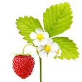 Wild strawberry macro isolated on white