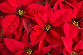 foto of poinsettia  - Closeup of red poinsettias  - JPG