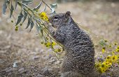 Squirrel Eating Flowers