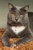 Scary Gray Cat looking at the camera