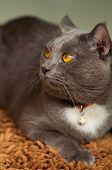 Scary Gray Cat