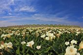 Big pictorial field of large white flowers. Calla lilies blooming and already faded high green stalks