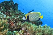 picture of angelfish  - Emperor Angelfish - JPG