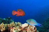 Parrotfish and Grouper