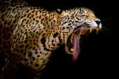 Leopard portrait Animal closeup black looking fast