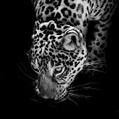 Leopard portrait Animal closeup