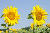 Two Ripe Sunflowers On Summer Blue Sky Background