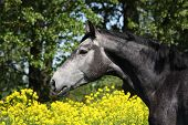 Gray Horse Portrait In Summer
