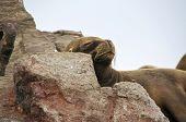 Sleeping Sea Lion