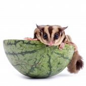 stock photo of glider  - sugar glider enjoy eating watermelon isolated on white - JPG