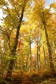 Autumn beech forest in the sunshine