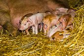 Piglets First Hours Of Life