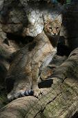 Jungle cat (Felis chaus).