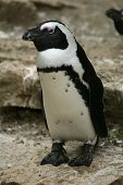 African penguin (Spheniscus demersus), also known as the jackass penguin and black-footed penguin.