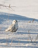 Snowy Owl - Staring From Ground In Snow