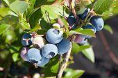 Blueberries on a shrub. Macro shot.