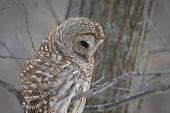 Barred Owl - Looking At Prey