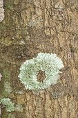stock photo of lichenes  - Closeup of green lichens on tree surface - JPG