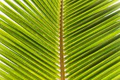 Close up Fresh Look Green Beach Palm Leaves at Seychelles. Can be Used for Backgrounds.