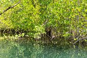 Mangrove trees growing in a coastal swamp at Port Launay, Mahe, Seychelles