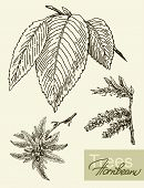 Vector Image Of Leaves, Flowers And Fruits Of Hornbeam.