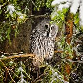 Big Grey Owl At Tree In Winter2
