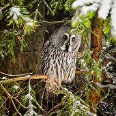 Big Grey Owl At Tree In Winter2